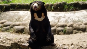 Malayan Sun Bear or Honey Bear