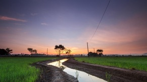 Paddy Field Near Kulim