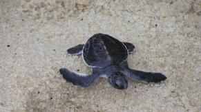 Green Turtle at Penang National Park