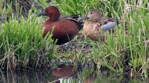 Different types of ducks can be seen in the wetlands.