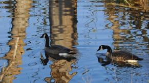 Canada geese stop in the wetlands during migration. Some stay through the winter.
