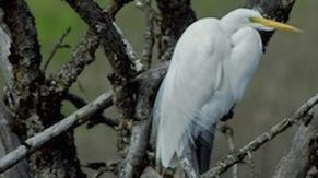 The wetlands are regularly visited by egrets and herons.