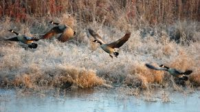 Canada geese fly over the wetlands.